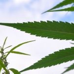 Everything You Need to Know About Medical Cannabis